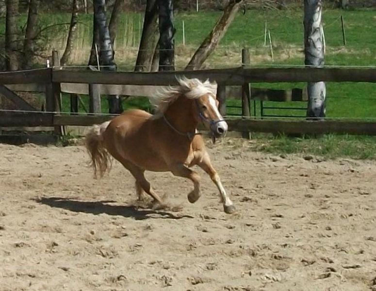 wildes Pony1 Bodenarbeit mit unserem Haflinger