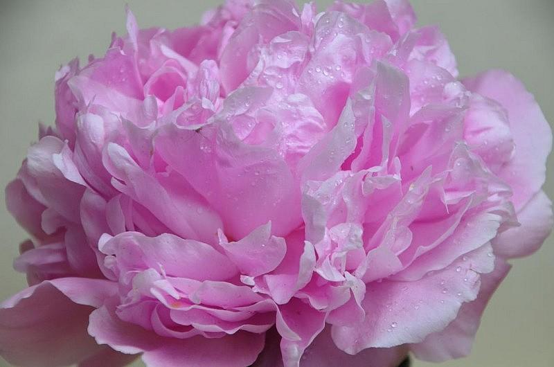 pfingstrose in rosa 800x530 Engel Tasse