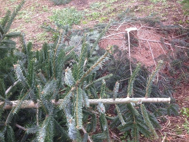 tannenbaum schlagen 800x600 Toller Sonntag – ein echter Sonntag # 31